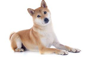 animalstock-Akita Inu