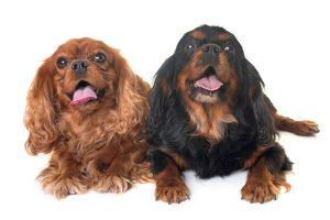 animalstock-cavalier-king-charles-spaniel