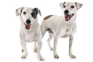 animalstock-jack-russel-terrier