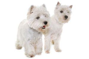 animalstock-West Highland Terrier